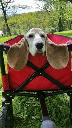 Basset hound ears are unique. Cute Puppies, Cute Dogs, Dogs And Puppies, Doggies, Funny Dogs, Funny Animals, Cute Animals, Baby Animals, Dog Pictures
