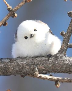 Tiny Birds That Look Like Flying Cotton Balls Live On Japanese Island - Nature And Animals Cute Birds, Pretty Birds, Beautiful Birds, Animals Beautiful, Birds 2, Cute Little Animals, Cute Funny Animals, Cute Cats, Tiny Baby Animals