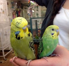#parakeet and English Budgie