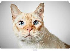 Siamese Cat Santiago by Richard Phibbs