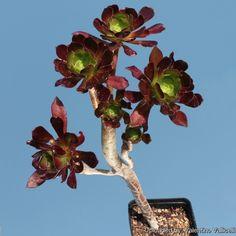 Aeonium arboreum f. Hanging Plants Outdoor, Indoor Trees, Plant Identification, Cactus, Succulents, Inspiration, Beautiful, Gardens, Succulent Plants