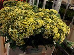 #Achillea #Milefolium Yellow; Availalble at www.barendsen.nl