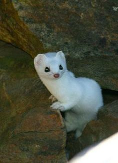 Baby short tailed weasel - photo#37