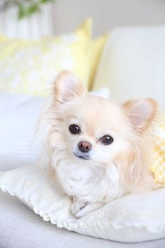 Long Haired Chihuahua Puppy... I cant resist this what a face but the tiny feet seal the deal..I want one !