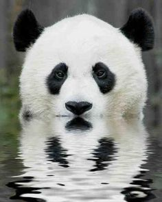 Pandas are almost becoming extinct. They are endangered because people are cutting down the bamboo that pandas eat to make farms. Pandas can eat more than kilograms of bamboo a day. Niedlicher Panda, Panda Love, Cute Panda, Hello Panda, Big Panda, Panda Head, Panda China, Panda Funny, Beautiful Creatures
