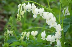 Lamprocapnos spectabilis (Bleeding Heart, white form).