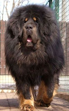 A Tibetan Mastiff. Probably one of the largest strongest and fearless breeds around. A Tibetan Mastiff. Probably one of the largest strongest and fearless breeds around. Tibetan Mastiff Dog, Mastiff Dogs, Tibetan Dog, Mastiff Breeds, Big Dog Breeds, Rare Dog Breeds, Very Large Dog Breeds, Beautiful Dogs, Animals Beautiful