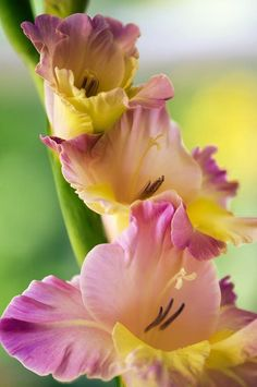 ~~Gladiolus by Maria Mosolova~~