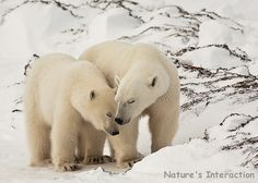 'Polar Bear Mom and Child - Last Season Together' - photo by Nature's Interaction on Etsy;  Wapusk National Park, Manitoba, Canada, November 2006