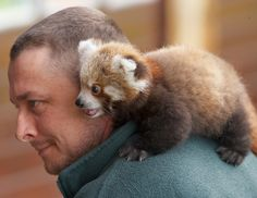 I LOVE Red Pandas!!! I want one soooo badly. They are like a mix of a raccoon and a fox! Me and my guy will hang out like this all the time :).