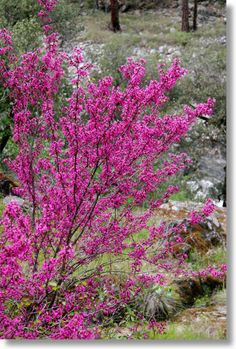 Cercis occidentalis western redbud  all year interest, 10-18 ft. high, 3 week display of magenta floweres, seed pods, dry tolerant