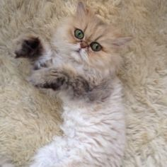 shelby the persian cat