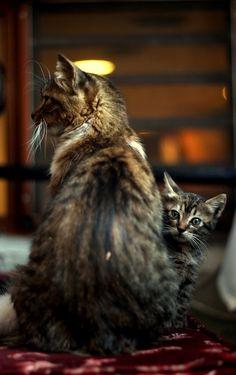 ラブリー-KittyCats、がtheanimalblog:猫。 エムレによる写真Gunelできます