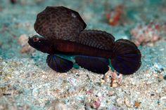 35 best blenny images aquarium aquarius fish tank
