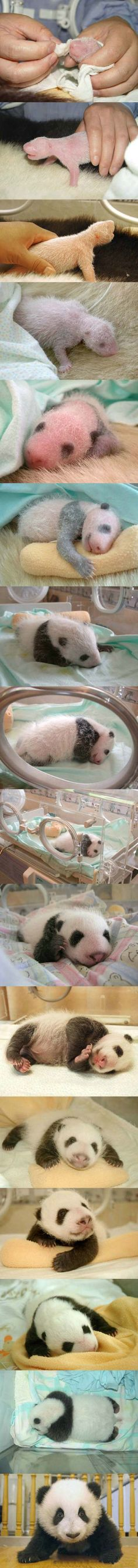 Life is not easy, a panda's birth.