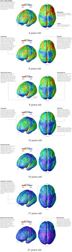 Maturation of the human brain - TEKS Human Growth and Development G (A) analyze the biological and cognitive development of adolescents. Brain Anatomy, Anatomy And Physiology, Brain Science, Brain Food, Science Education, Health Education, Physical Education, Neuroplasticity, Human Development