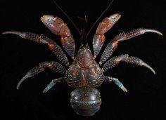 Coconut crab (Birgus latro), Guam   Flickr - Photo Sharing! Big Crab, Coconut Crab, Sand Fleas, Crab Tattoo, Crab Art, Crab Shells, Crab Stuffed Shrimp, Carapace, Beautiful Fish