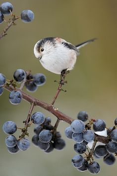 ~♡I thank God for these berries♡~       long tailed tit - photo by m.geven