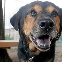 Austin, TX - Black and Tan Coonhound. Meet *CRISPIN a Dog for Adoption.
