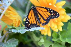 #butterfly  #chrysila
