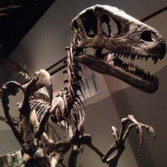 Utahraptor skeleton at the North American Museum of Ancient Life