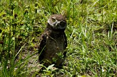 https://flic.kr/p/sLsKoh | Burrowing Owl Babies | Burrowing Owl Babies