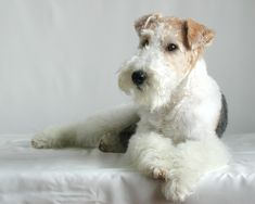 "wire fox terrier ""cocoa"""