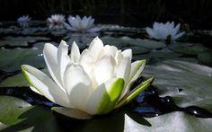 De witte lotus