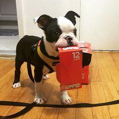 Anyone want a Coke? Leo the Boston Terrier ♥