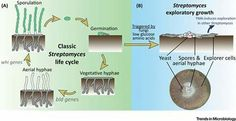 Streptomyces lifecycle  -All things microbial-