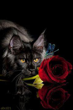 Кот и красная роза - анимация на телефон №1388318