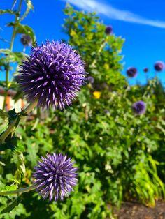 Front Yards, Dandelion, Gallery, Flowers, Plants, Dandelions, Florals, Plant, Flower