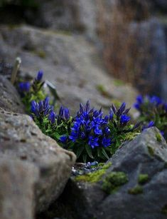 Gentian Blue alpine plant - Garden design by carolyn mullet - Blue flowers and stone - Contrast in color and texture