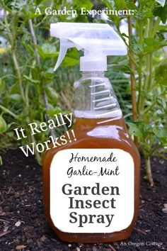 Easy to make and use, homemade garlic-mint garden insect spray was tested on badly attacked basil plants & a vine and worked with only 2 applications!
