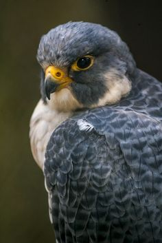 Peregrine Falcon by HollyBerry255, via Flickr