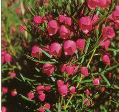 Boronia heterophylla • Australian Native Plants Nursery • For the shady spot at the front.