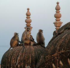 Monkeys hanging out at Nahargarh, Jaipur