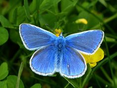 The beautiful common blue butterfly could be booming in the UK thanks to the recent spell of warm weather, according to Butterfly Conservation. Here's how to get involved in their Big Butterfly Count Baby Angel Tattoo, Baby Tattoos, Skull Tattoos, Foot Tattoos, Sleeve Tattoos, Butterfly Art And Craft, Butterfly Photos, Butterfly Tattoos, Common Blue Butterfly