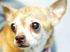 VIOLET -– A1117526  *9 YRS OLD** FEMALE, TAN / WHITE, CHIHUAHUA SH MIX, 9 yrs STRAY – Intake Date 07/05/2017,