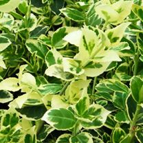 Euonymus Fortunei Plant - Emerald Gaiety