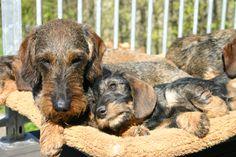 ruwharige teckel pups