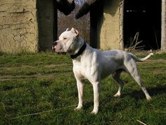 Dogo Argentino Wallpaper for PC | Full HD Pictures