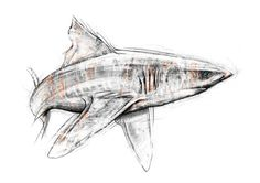 """Another stunning illustration -     """"A Study of Sharks"""" is a self directed project in support of PangeaSeed created by supporting artist Tom J Manning - Design/Illustration/Fine Art.    Beautiful artwork featuring several of our favorite shark species. Follow the link below to view more of Tom's shark sketches.    http://talent.adweek.com/gallery/A-Study-of-Sharks-PangeaSeed/6416405    Copyright Tom J Manning 2013"""