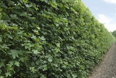 QuickHedge - Hedges deciduous, acer campestre, summer
