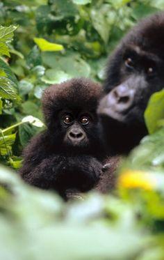 Berggorillas, Mutter mit Kind