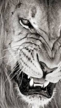 Un lion qui copie un lion devient une singe. / Do not imitate anything or anyone, a lion that mimics an other lion becomes a monkey. Beautiful Creatures, Animals Beautiful, Beautiful Lion, Stuffed Animals, Animal Original, Animals And Pets, Cute Animals, Wild Animals, Angry Animals
