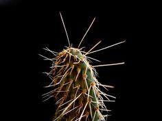 0puntia leucotricha