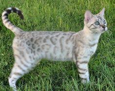 Snow Bengal...sooooooo pretty and soooooo hyper lol I want it