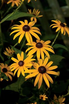 10 Plants That Beat the Summer Heat: Black-eyed Susan