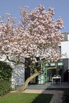 Shade Landscaping, Garden Landscaping, Pink Cherry Blossom Tree, Terrace Decor, Magnolia Design, Backyard Plan, Magnolia Trees, Beyond The Sea, Contemporary Landscape